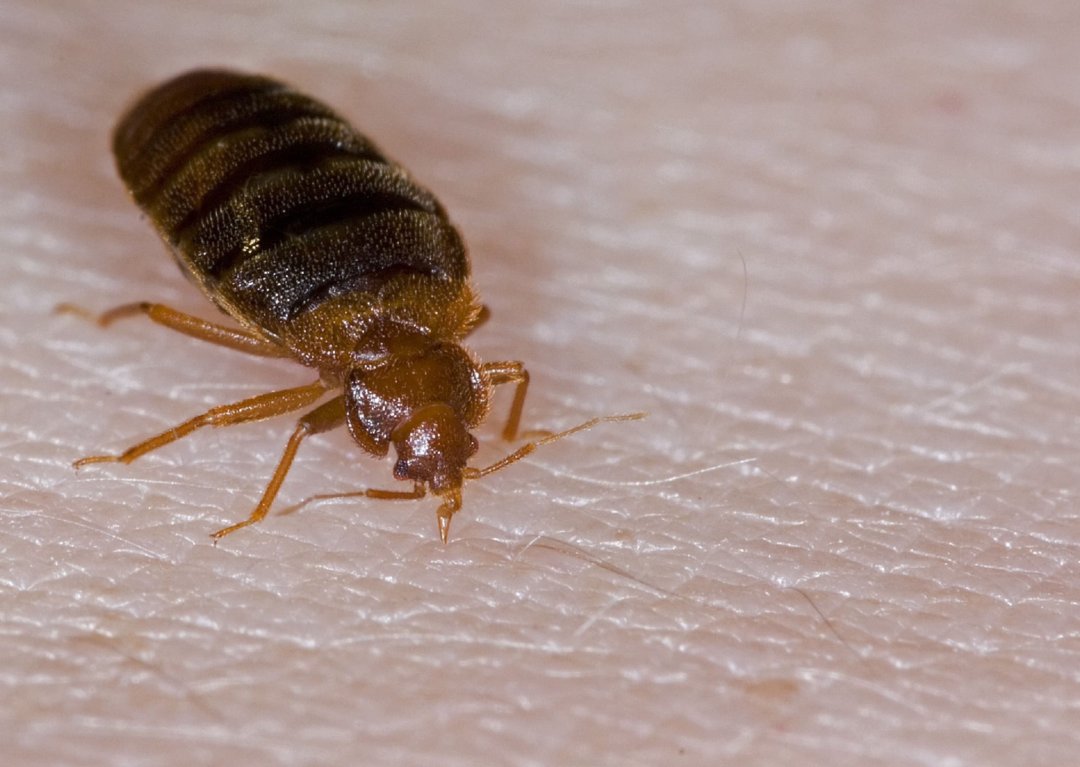 Bed Bug Insectox