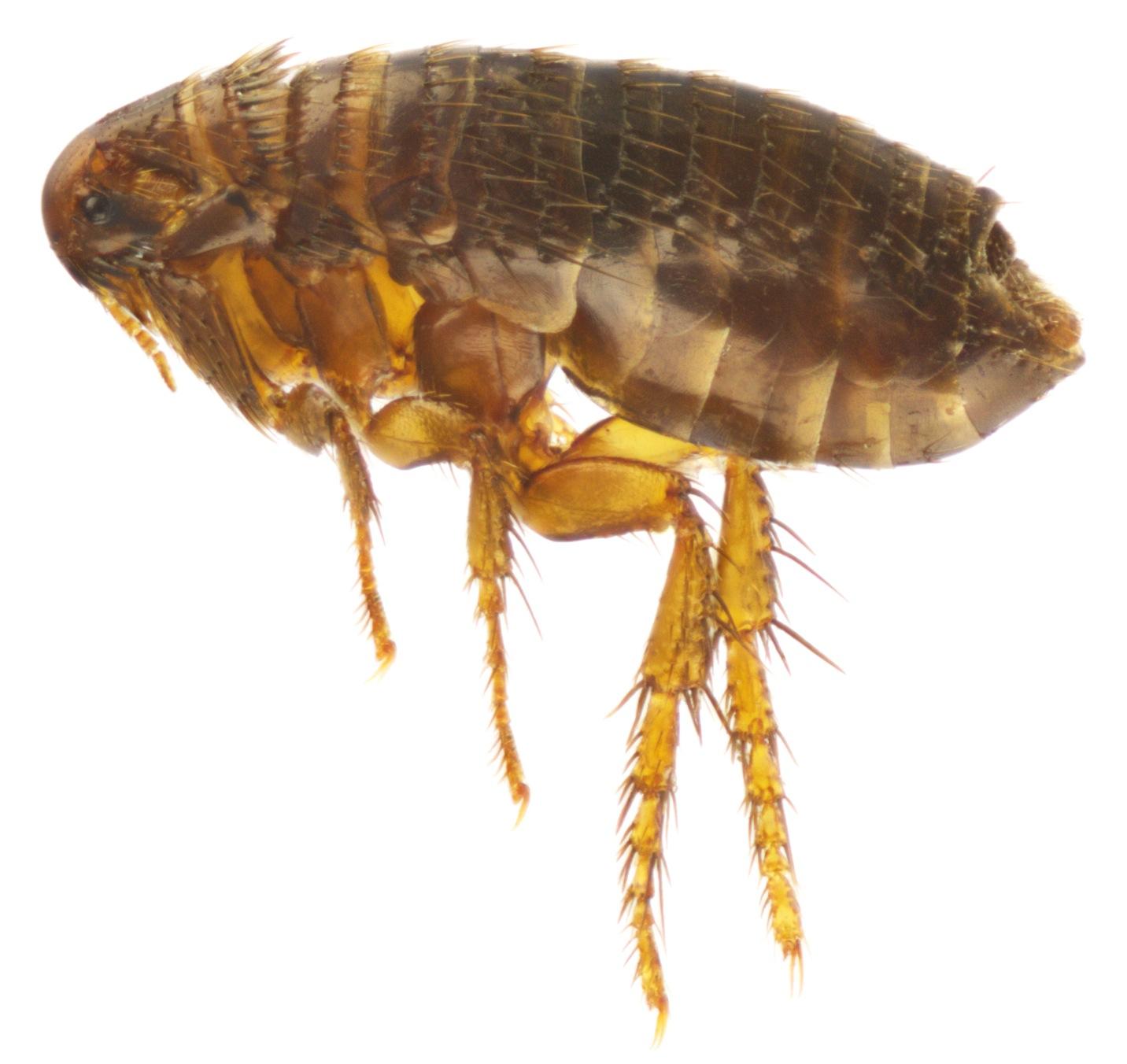 fleas insectox. Black Bedroom Furniture Sets. Home Design Ideas