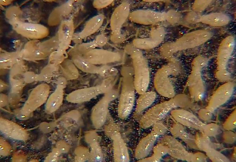 Termites Insectox